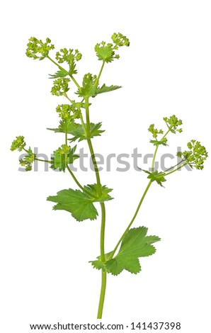 Ladys mantle herb (Alchemilla mollis) isolated on white background - stock photo