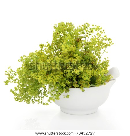 Ladys mantle herb in a porcelain mortar with pestle, over white background. Alchemilla - stock photo