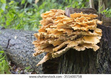Laetiporus sulphureus. Its common names are crab-of-the-woods, sulphur polypore, sulphur shelf, and chicken-of-the-woods.