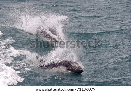 Lagenorhynchus australis. The Antarctic or Austral dolphin has a pattern of blue and white colors similar to Orca or killer whale one. Puerto Deseado, Santa Cruz, Argentina. - stock photo