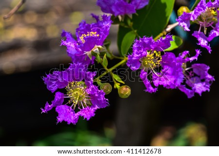 Lagerstroemia blooming in nature