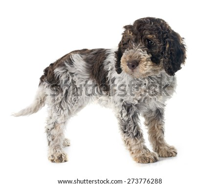 lagotto romagnolo in front of white background - stock photo