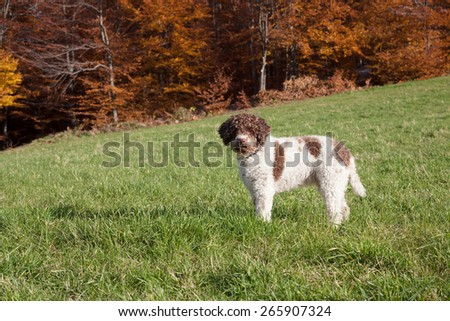 lagotto romagnolo in the woods - stock photo