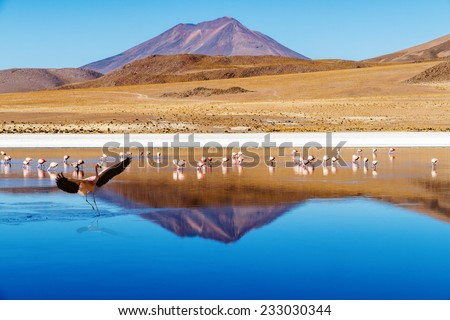 "Laguna at the ""Ruta de las Joyas altoandinas"" in Bolivia with pink flamingos fishing in the lake and  mountain reflecting in the lake.In the foreground a flamingo is landing in the laguna. - stock photo"