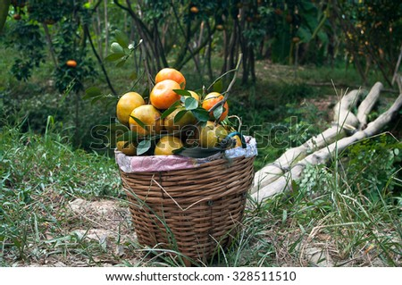 Lai Vung tangerine or Citrus reticulata blanco, Dong Thap province, Vietnam. Lai Vung is famous for growing tangerine or citrus and it is well known for tourist before Tet Holiday
