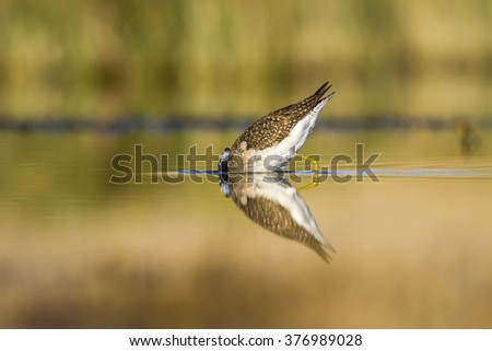 lake and bird Wood Sandpiper / Tringa glareola - stock photo