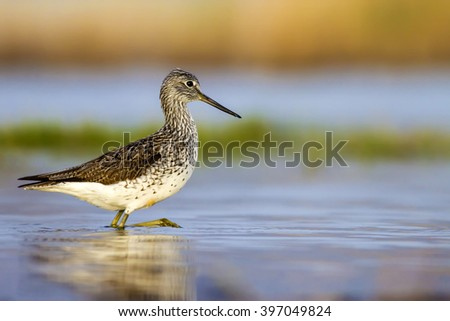 lake and birds Marsh Sandpiper / Tringa stagnatilis - stock photo