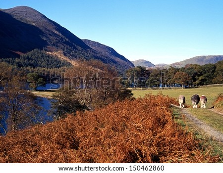 Lake and Red Pike fell with three sheep walking down track, Buttermere, Cumbria, England, UK, Western Europe. - stock photo