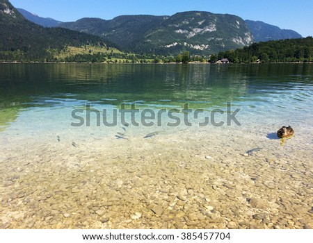 Lake Bohinj, Slovenia â?? August 2015: fishes and duck on the largest permanent lake in Slovenia located within the Bohinj Valley of the Julian Alps, part of Triglav National Park