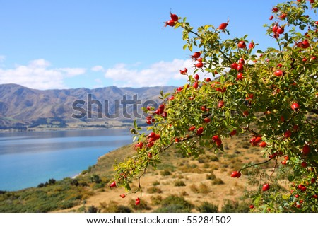 Lake Hawea in New Zealand. Otago district landscape. Hawthorn (Latin: Craetagus) fruits in the foreground, background is blurred. - stock photo