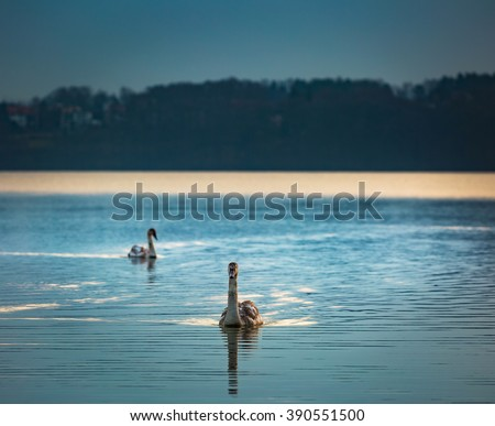 Lake landscape with swimming swans photographed at colorful sunset. Lake Krzywe in Olsztyn, Mazury lake district