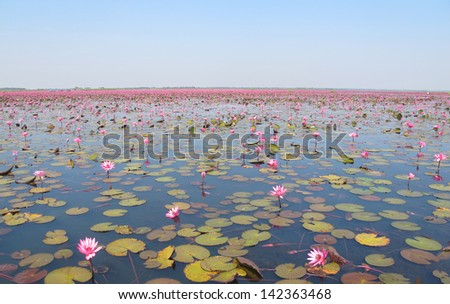 Lake of pink lotus in the northeastern part of Thailand. It's  one of the recommend places to visit. - stock photo