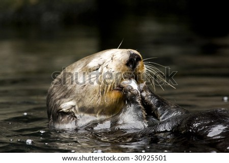 Lake Otter Eating Fish in Water - stock photo