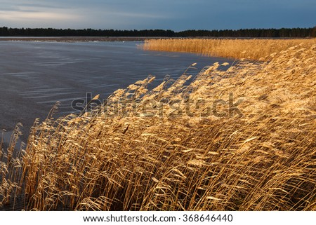 Lake shore reeds on a windy winter day. - stock photo