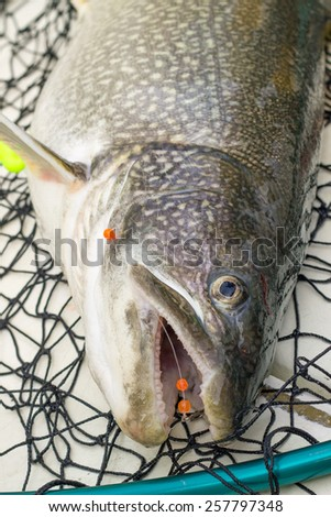 Lake trout in net - stock photo