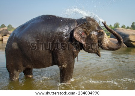 Lakshmi, the temple elephant takes her daily bath in the river. Hampi, India - stock photo