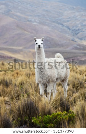lama beautiful mountains in the background - stock photo