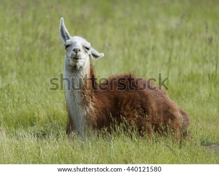 Lama sitting on the Grass