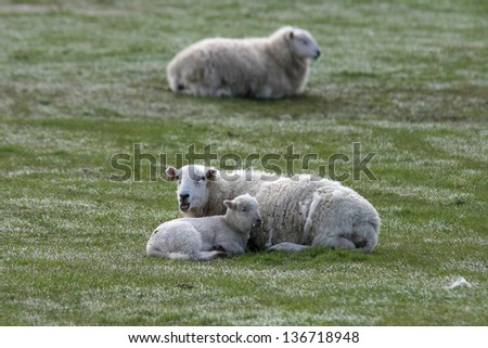 lamb and ewes - stock photo