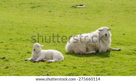 Lamb and mother enjoying the springtime sun - stock photo