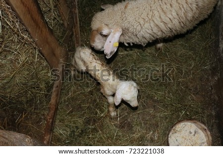 Lamb born before twenty minutes  with mother