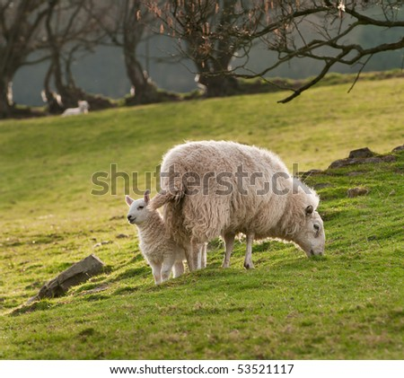 Lamb & Ewe (Ovis aries) on Welsh Hillside