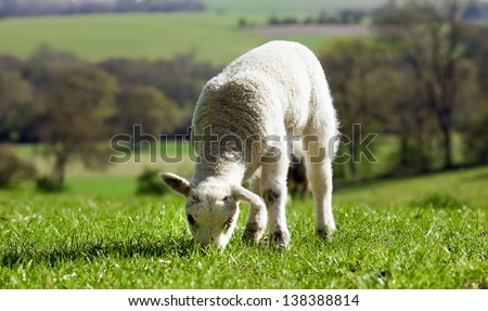 Lamb in field eating grass in spring time with a county side view - stock photo