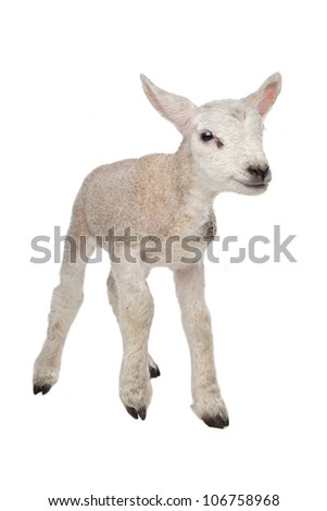 Lamb in front of a white background - stock photo