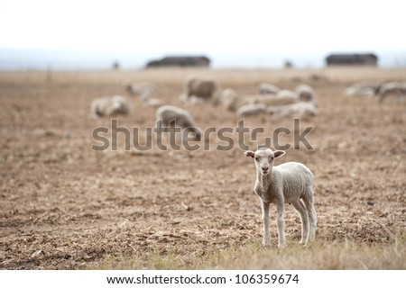 Lamb in the Field - stock photo