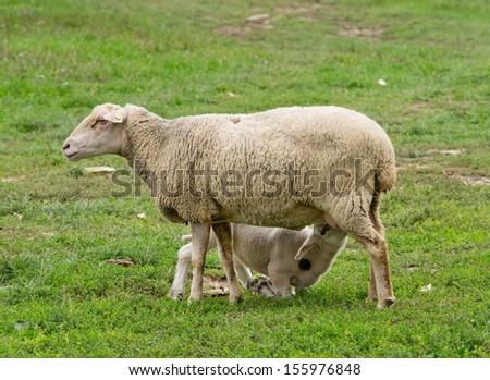 Lamb is sucking mothers milk on grass land - stock photo