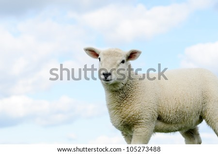 Lamb isolated against blue sky in the Peak District National Park Derbyshire - stock photo