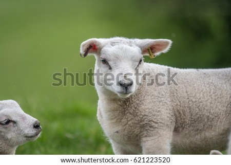 Lamb just in frame Wiltshire England