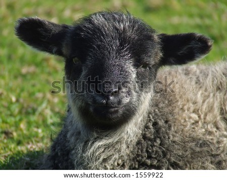 Lamb lays in the grass