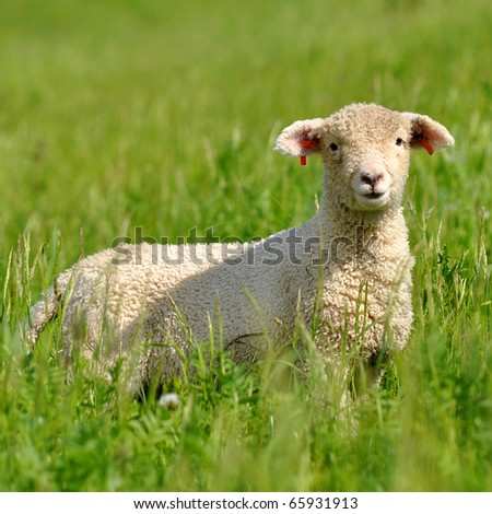 lamb looking at the camera - stock photo