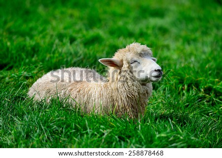 Lamb Lullaby. Pyeongchang Daegwallyeong Pasture in south korea. - stock photo