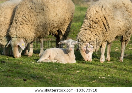 Lamb lying on grass while sheep grazing - stock photo