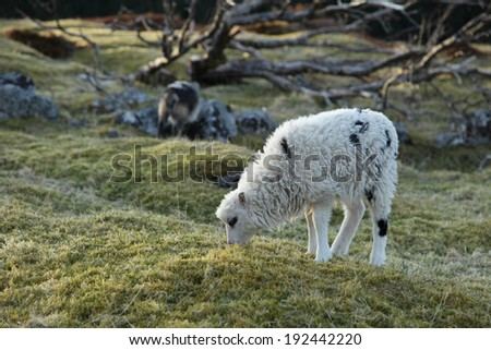 Lamb of the Norwegian sheep/villsau. The sheep are used for landscape management at coastal area in Nordland, Norway. They are adapted to local environmental conditions and live outdoors year around.