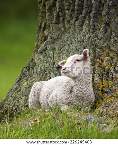 lamb resting by a tree outdoors