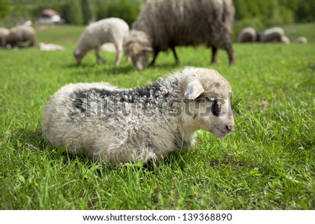 Lamb sleeping on a sunny meadow, Croatia, Sleeping Lamb - stock photo