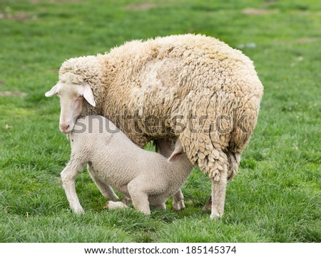 Lamb suckling milk from its mother (Wuerttemberg sheep) - stock photo