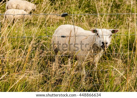 Lamb, young sheep on a field - stock photo