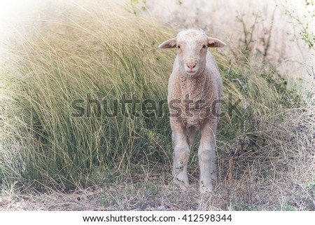 lambing season on a sheep farm with a newborn lamb standing in long grass