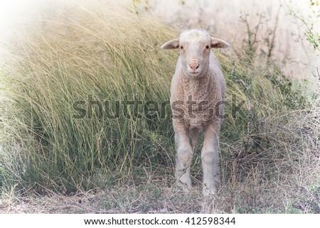 lambing season on a sheep farm with a newborn lamb standing in long grass - stock photo