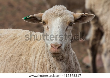 lambing season on a sheep farm with females head detail