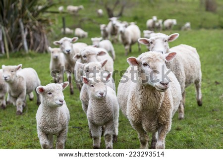 Lambs and sheep green grass - stock photo