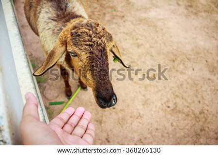 Lambs are being fed Care - stock photo