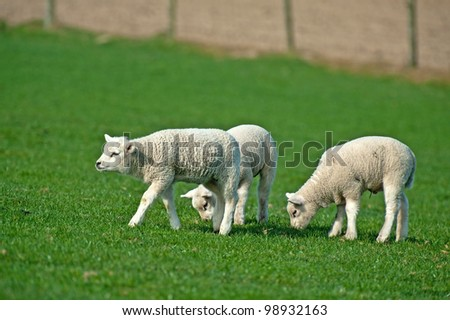 Lambs grazing in spring