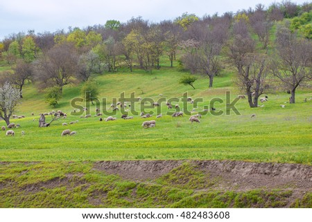 lambs grazing on the meadow