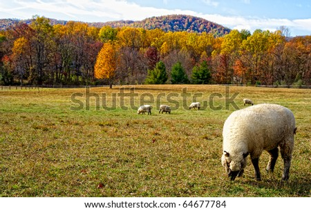 Lambs in Autumn meadow in Virginia