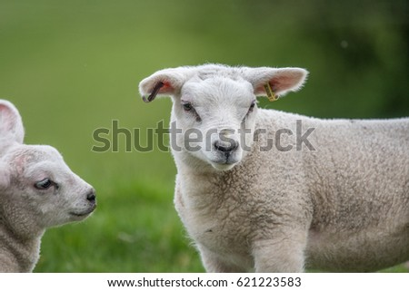 Lambs looking cute Wiltshire England